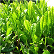 Camellia Sinensis Extract Powder