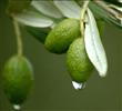 40% Oleuropein Olive Leaf Extract