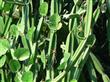 Cissus Quandrangularis Extract