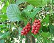 Chinese Magnoliavine Fruit P.E. Schisandra chinensis baill