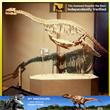Exhibition Specimen Fossil Pliosaurus