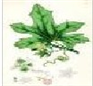Bryonia dioica extract