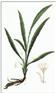 Curculigo orchioides Rhizome Extract