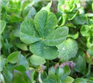 Clover genius oxalis teraphylla extract