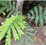 Archidendron clypearia