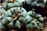 Healthy peyote Rooms