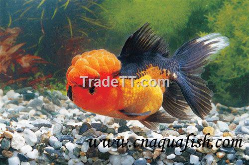 Goldfish oranda for sale china goldfish oranda for sale for Gold fish for sale